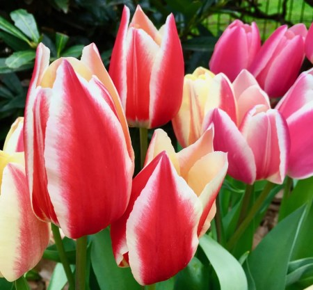 multicolored tulips photo by gail worley