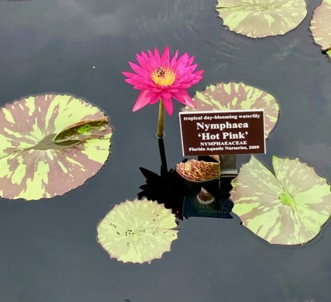 hot pink water lily photo by gail worley