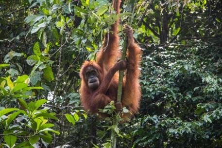 Indonesie-Sumatra-Bukit-Lawang-Trekking-2