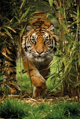 tijger-bamboo-i47507