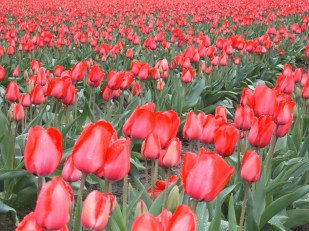 Tulips, Mt Vernon, Washington USA, by Ana Gobledale