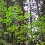 redwood trees with green contrast