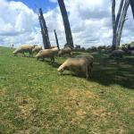 NZ sheep = by Claire