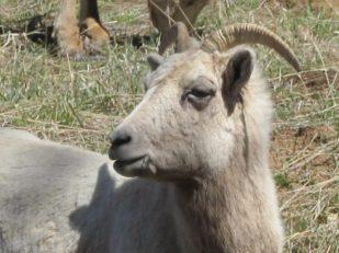 Mountain goat, Colorado, USA -- Ana Gobledale
