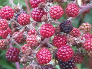 Wild berries, Wiltshire, UK - Ana Gobledale, UK