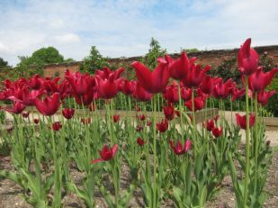 Tulip flower garden, Mottisfont, Hampshire UK -- by Ana Gobledale