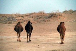Dromedarissen in woestijn bij Kashan