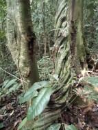 Mitunter sind die Lianen so dick wie die Bäume selbst