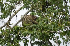 When leaving tortuguero, the boat driver spotted this sloth and stopped for a quick photo op.