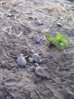 Baby Green Sea Turtles shortly after they hatched