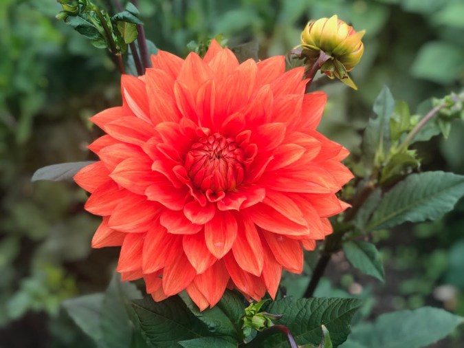 Stunning dahlias from our gardens!