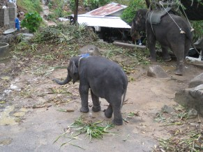 Baby Elephant: trying to walk, but can't.