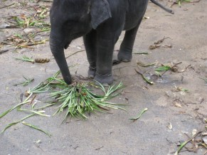 Baby Elephant: just wants to eat his leaves.