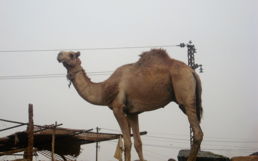 Double Take – Camels!