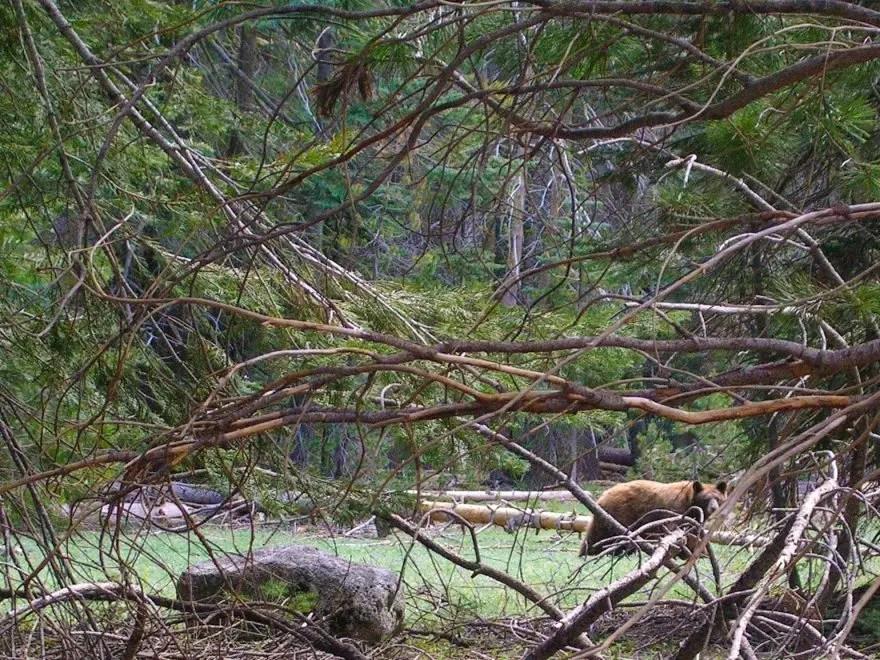 Wild bear in Yosemite