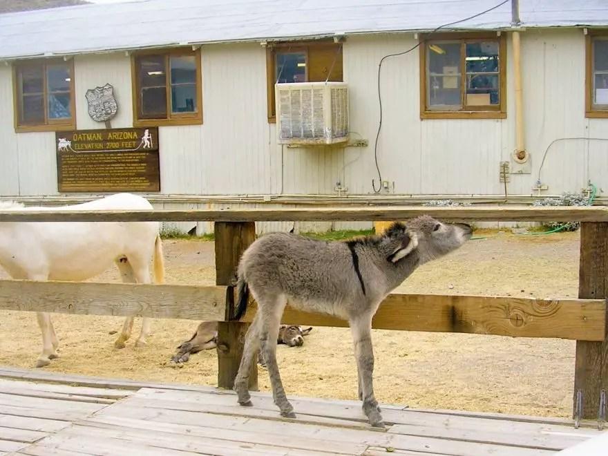 Donkeys on Route 66