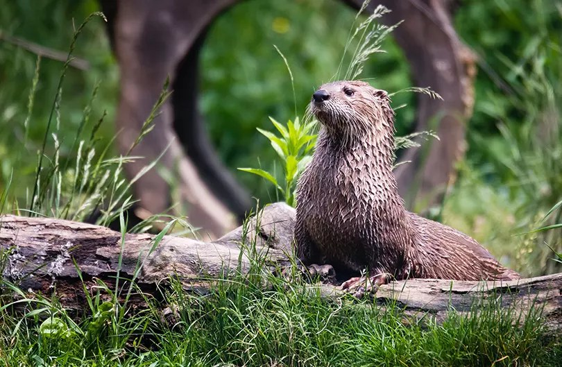 Would Be Traveller Otters in UK