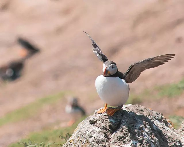 Would Be Traveller Puffin about to take off on Skomer Island