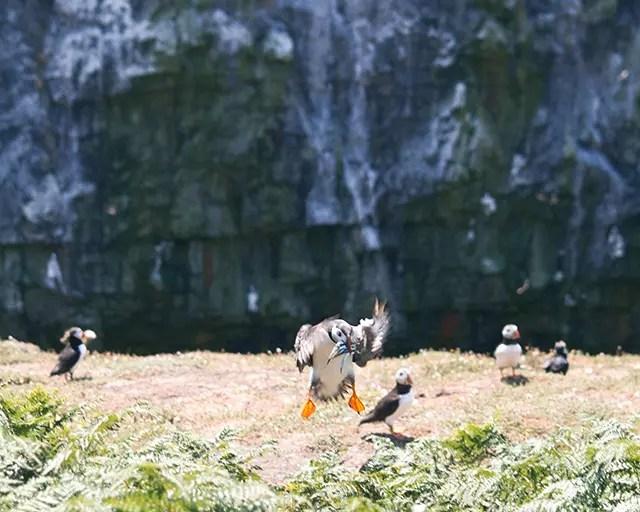 Would Be Traveller Puffin landing on Skomer Island