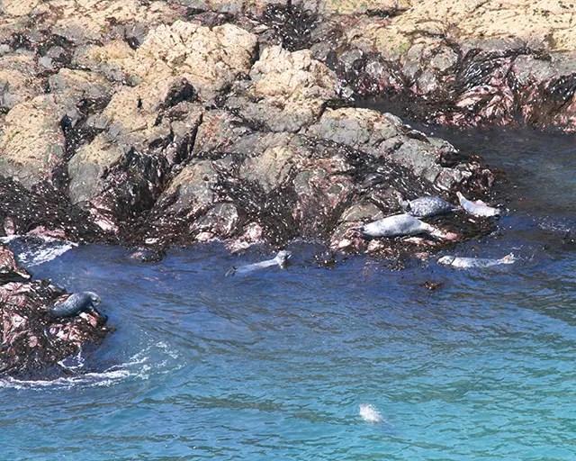 Would Be Traveller Seals on Skomer Island