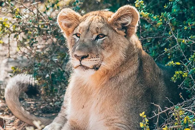 Would Be Traveller Wildlife Encounters in South Africa Majestic Lion