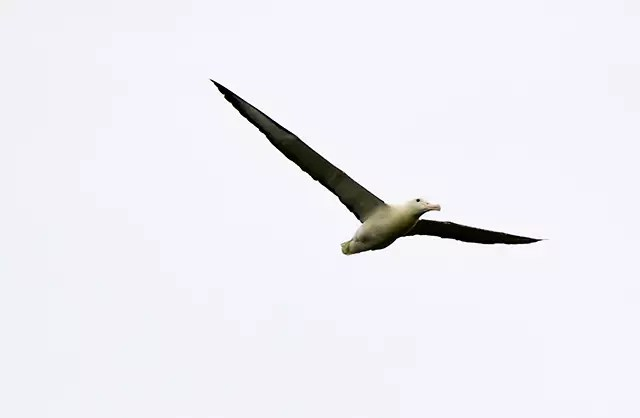 Would Be Traveller unusual wildlife destinations royal albatross new zealand