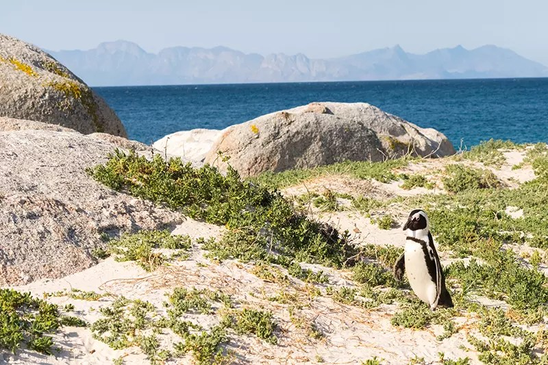 Would Be Traveller South Africa Holiday Destinations Cape Town Boulders Beach