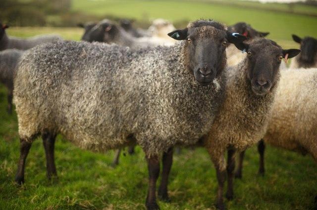 Sue Blacker's Gotland sheep