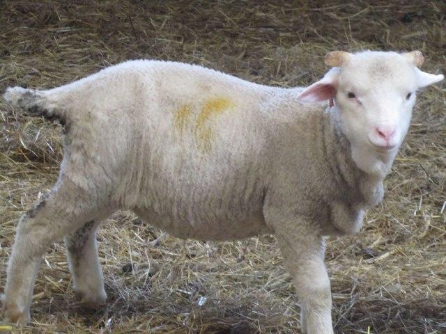 2013-ram-lamb