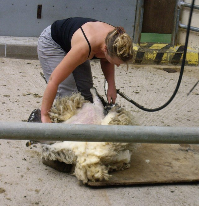 woolfest_shearing