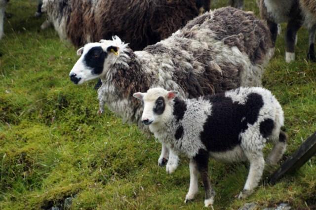 05_Flecket_sheep