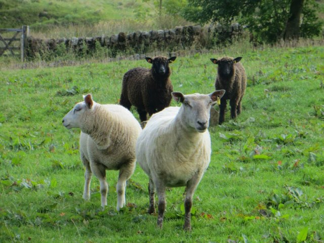 Charollais x ewe out of a moorland Beltex x with her Texel x wether lamb.  Black Wensleydale ewe lambs behind