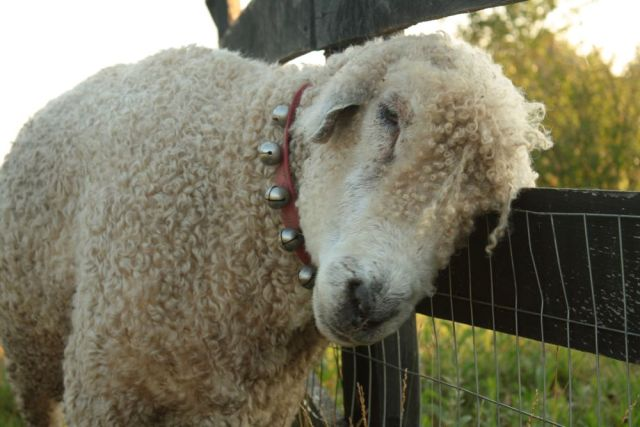 This is Ernie, a sadly now departed but much cherished Bellwether from the Juniper Moon Farm flock. (See his wondrous bells and beauteous fleece.)