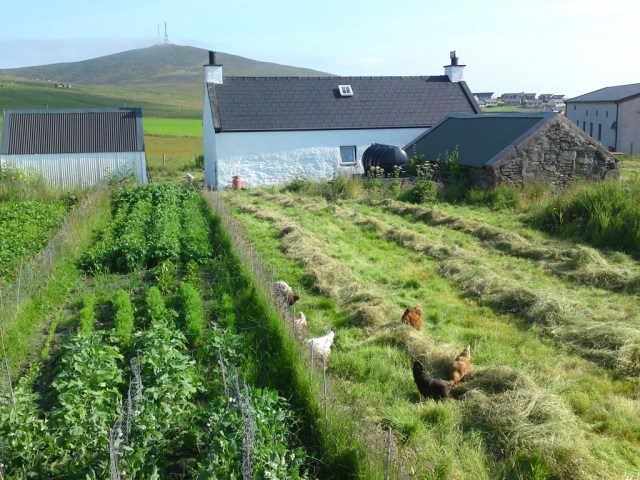 Hay making with hens and veg