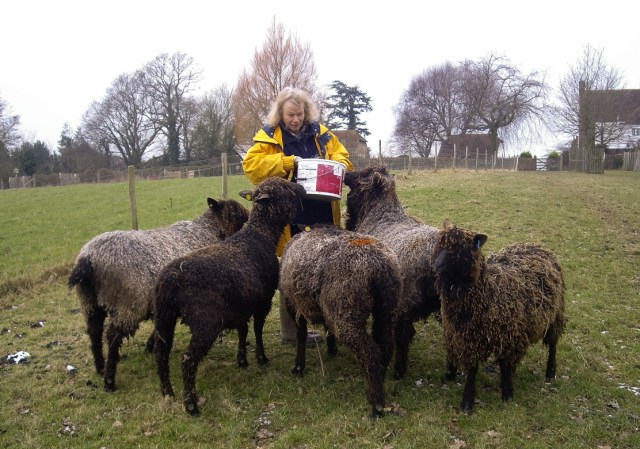 Julia Desch and her beautiful coloured Wensleydale sheep