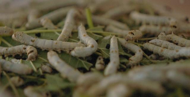 silkworm_buddies-1-2
