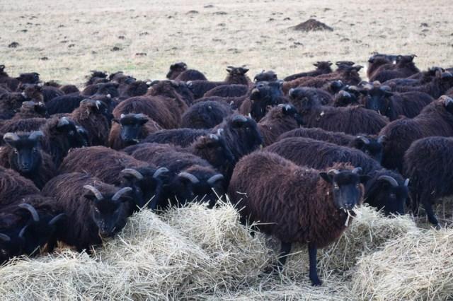 The Hebridean sheep
