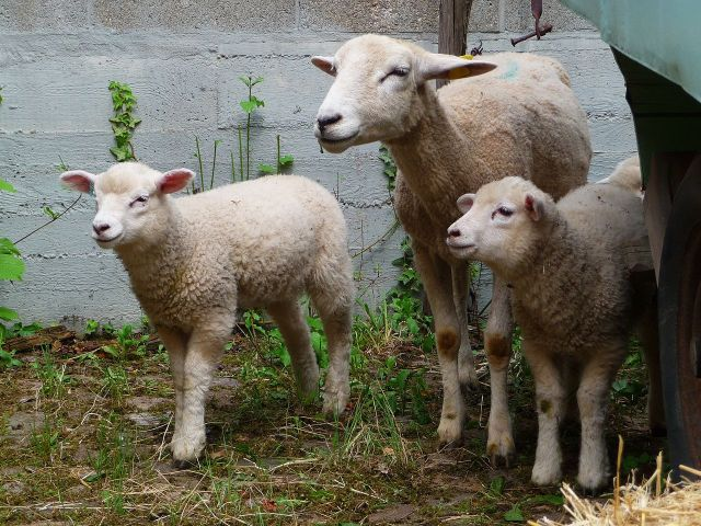 Merinoschaf (Merino sheep) with two lambs - photo found on Wiki Commons and attributable to 4028mdk09