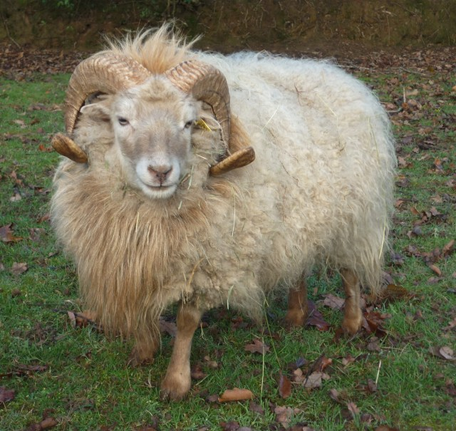 White Ouessant ram. Photo © D. Falck and used with kind permission