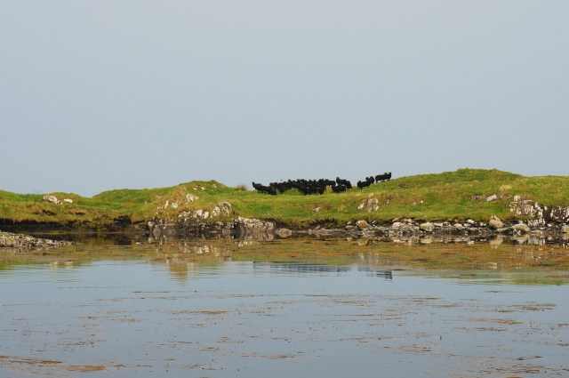 Our Hebridean Sheep on Sound of Harris Islands