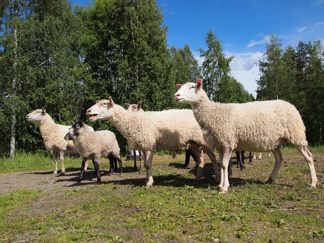 'Sheep in Pappilanvuori district, Jyväskylä' - photo found in Wiki Commons and attributable to Tiia Monto