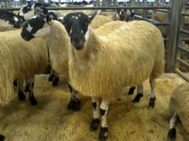 Blackie Mule ewe lamb dressed for sale
