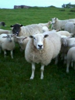 Moorland-bred Beltex x ewe in foreground, Mule ewe behind, Soft Fell in background, with all their lambs