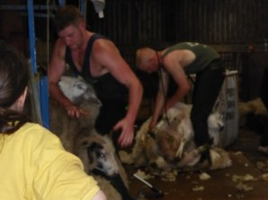 shearers hard at work