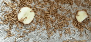 Mealworms