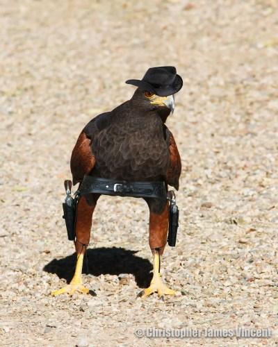 Harris's Hawk, an obvious western bird