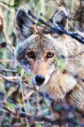Mr.Coyote