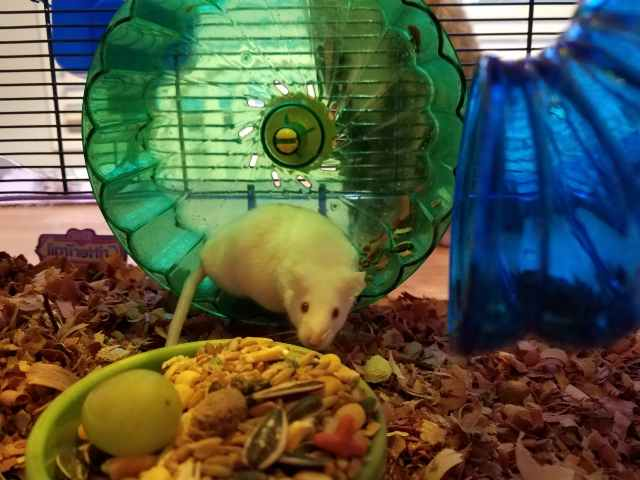 mouse sniffing food