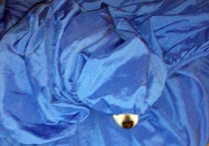 dog's nose sticking out from under sheet