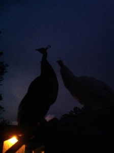 peacocks perched at night